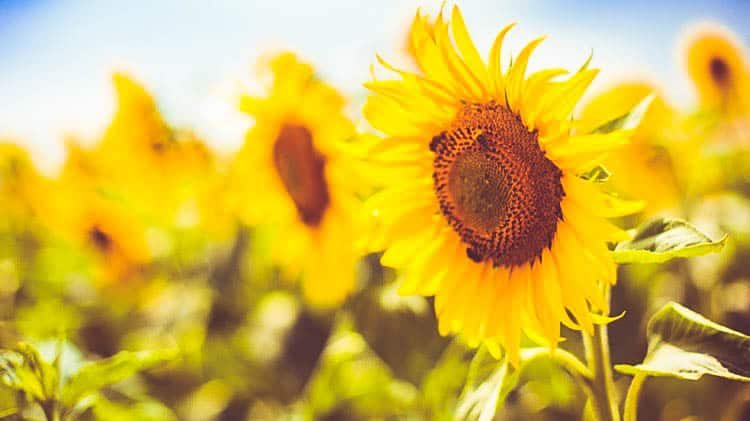 Bees-Working-on-a-Big-Colorful-Sunflower_cropped-159.jpg